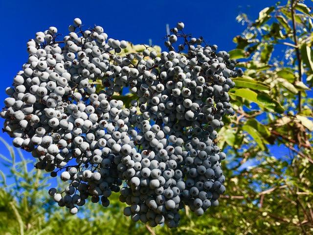 Purple elderberries