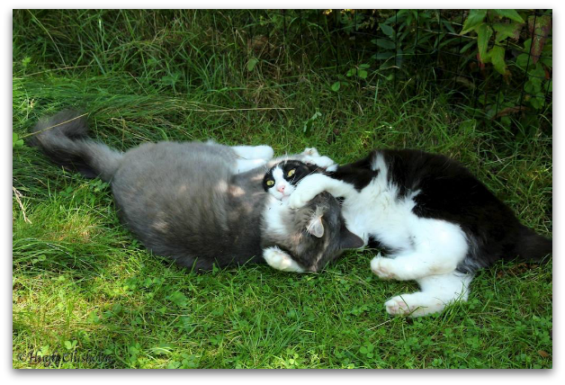 Earl Grey and Tuxedo Stan at play (Image: Tuxedo Party of Canada Cat Welfare Society)