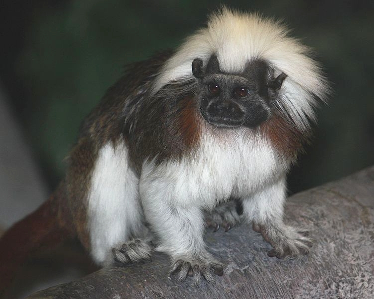 A cotton-top tamarin © Wikimedia