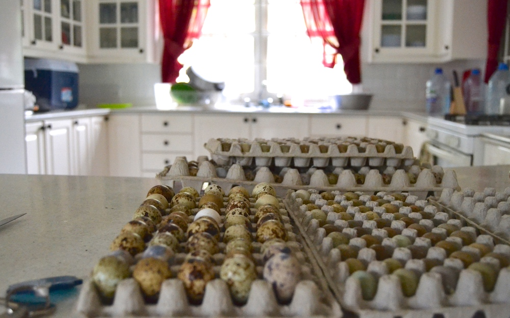 Quail eggs are gathered and sold.