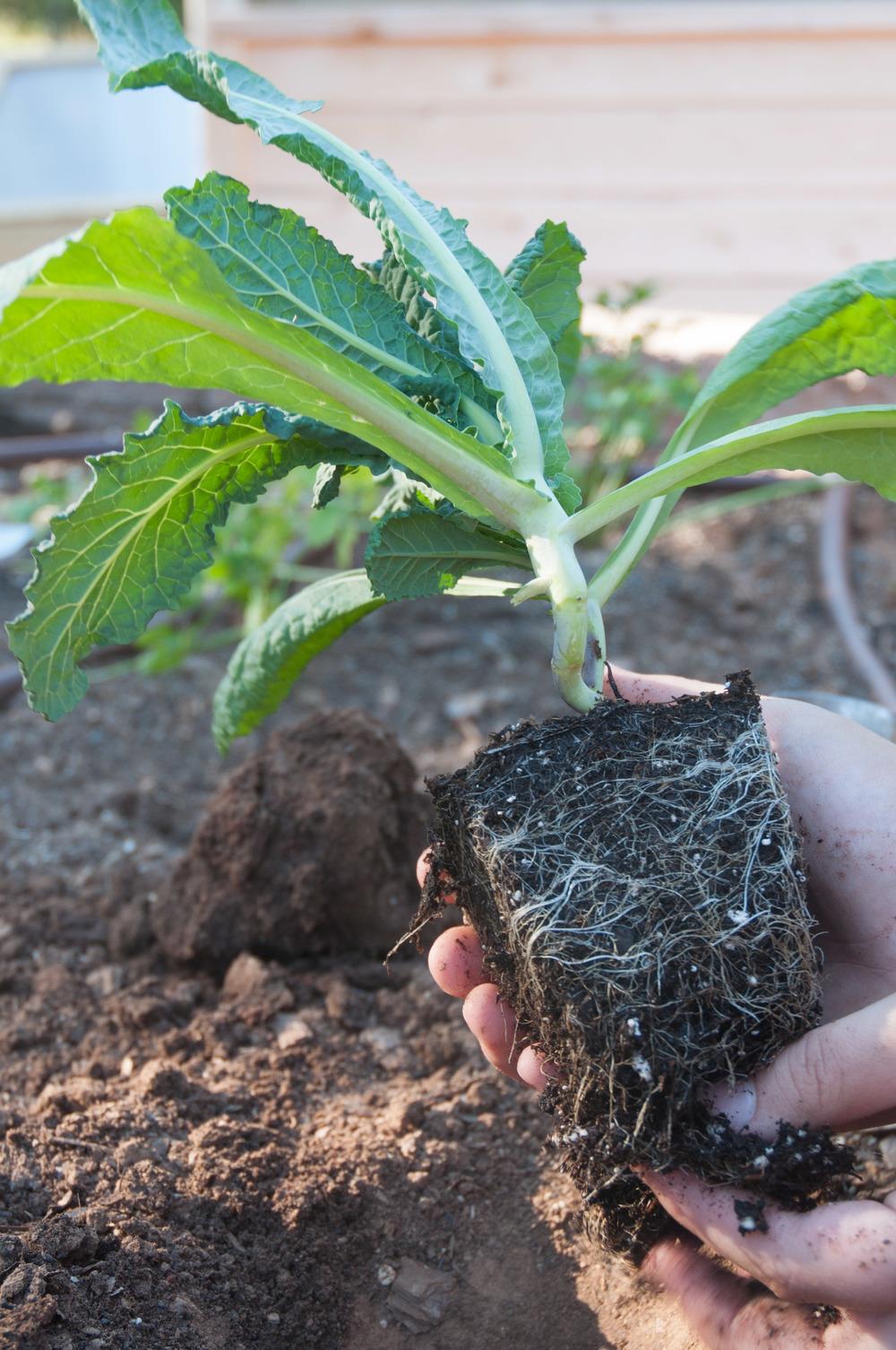 grow kale
