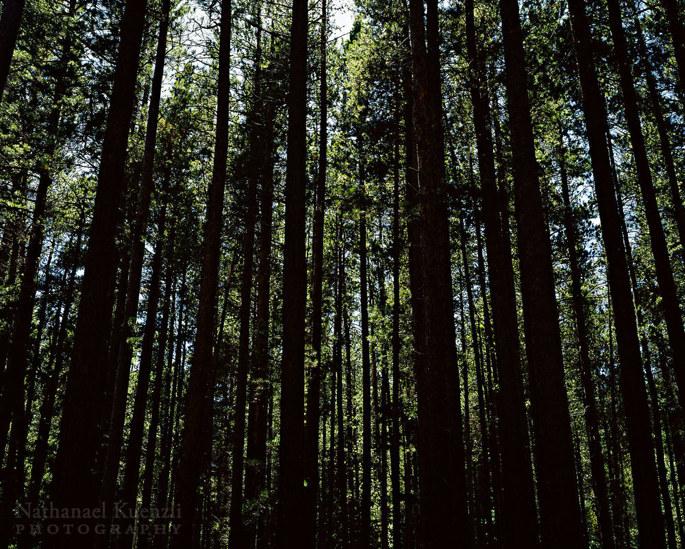 Pines, Wild Basin, Rocky Mountain NP, Colorado, May 2009