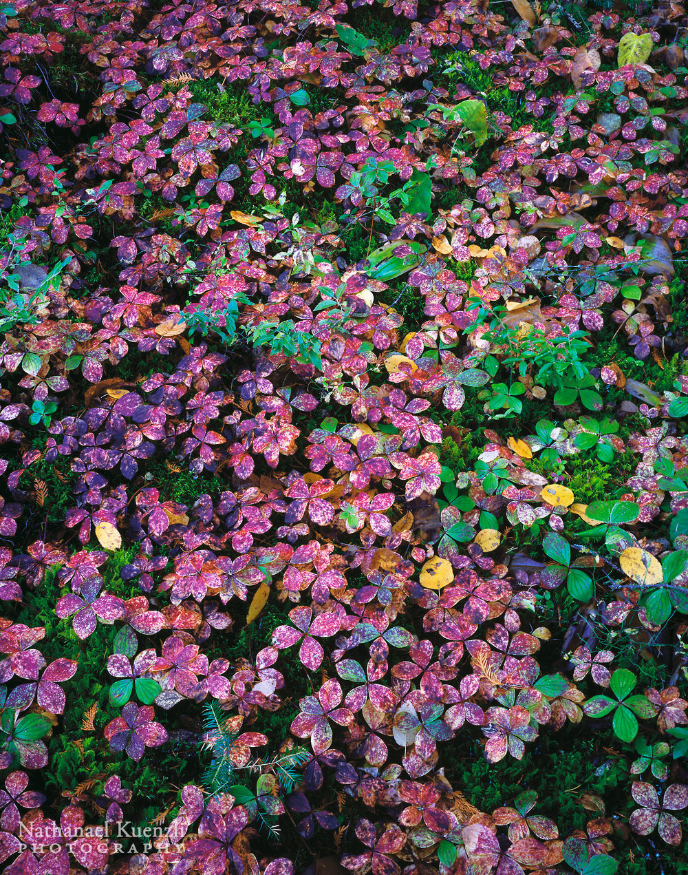 Bunchberry, Boundary Waters Canoe Area Wilderness, Minnesota, October 2005