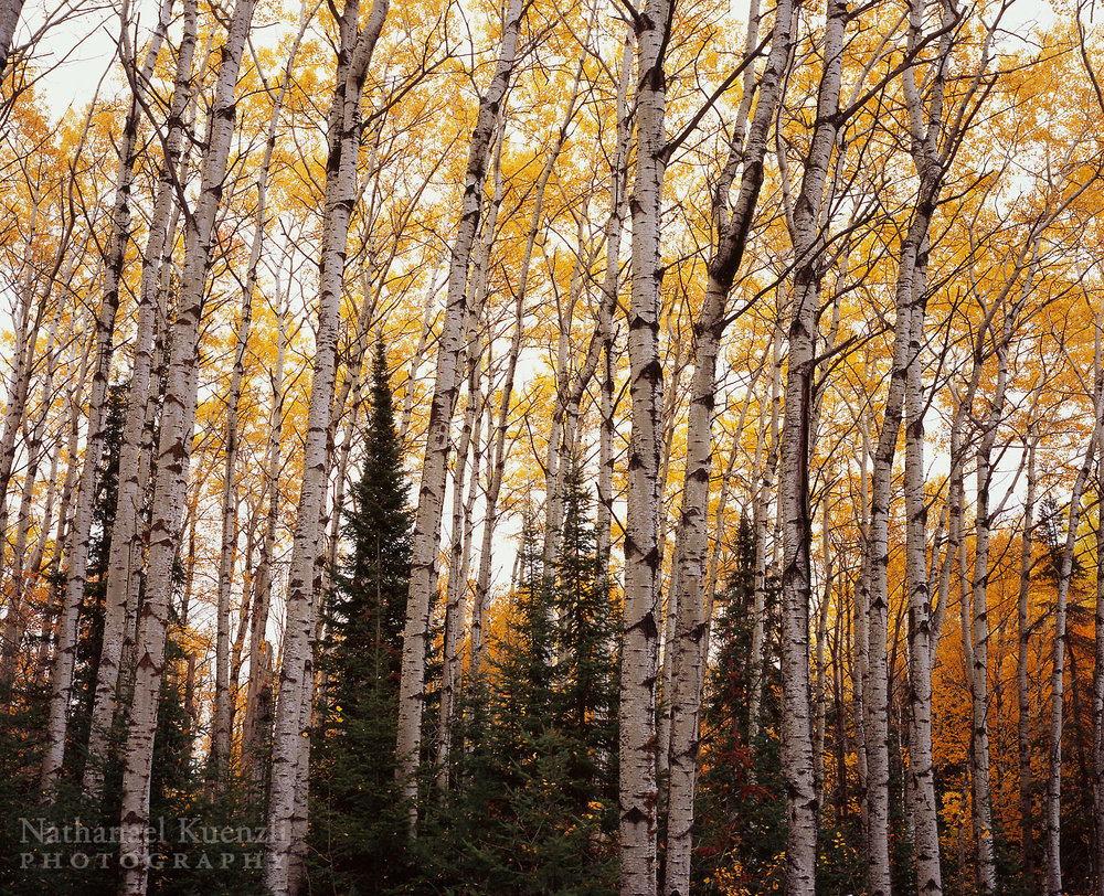 Golden Birches, Superior National Forest, Minnesota, October 2008