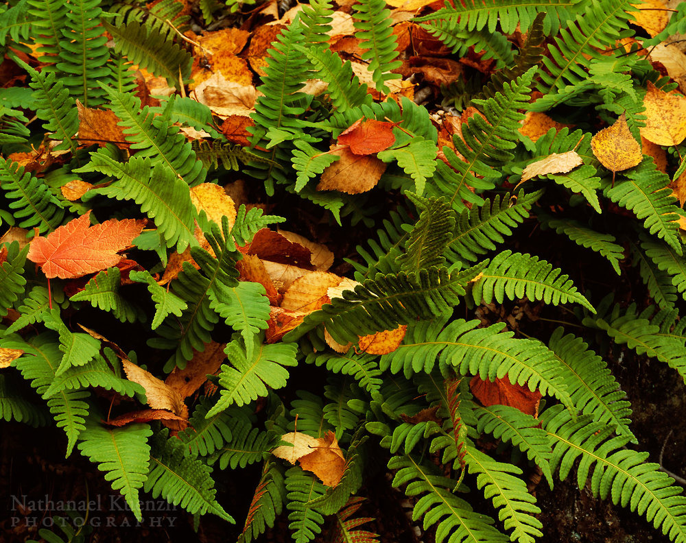 Fern Detail, Pigeon River Provincial Park, Ontario, Canada, October 2008