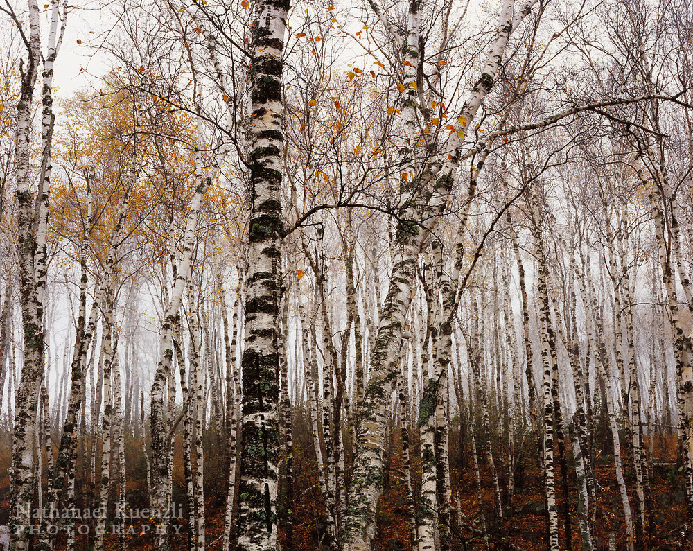 Birches, Split Rock Lighthouse State Park, Minnesota, October 2006