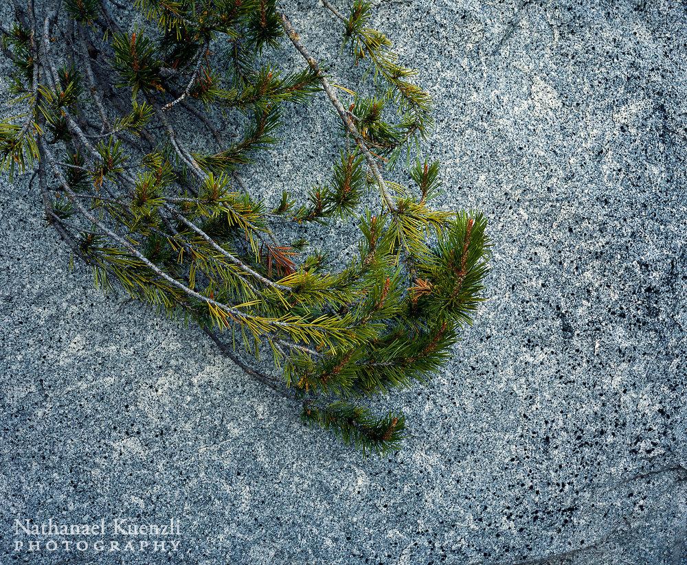 Pine and Granite Detail, Yosemite National Park, California, May 2007