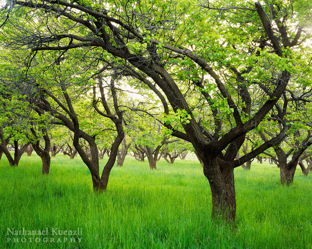 Peach Orchard, Capitol Reef National Park, Utah, May 2005