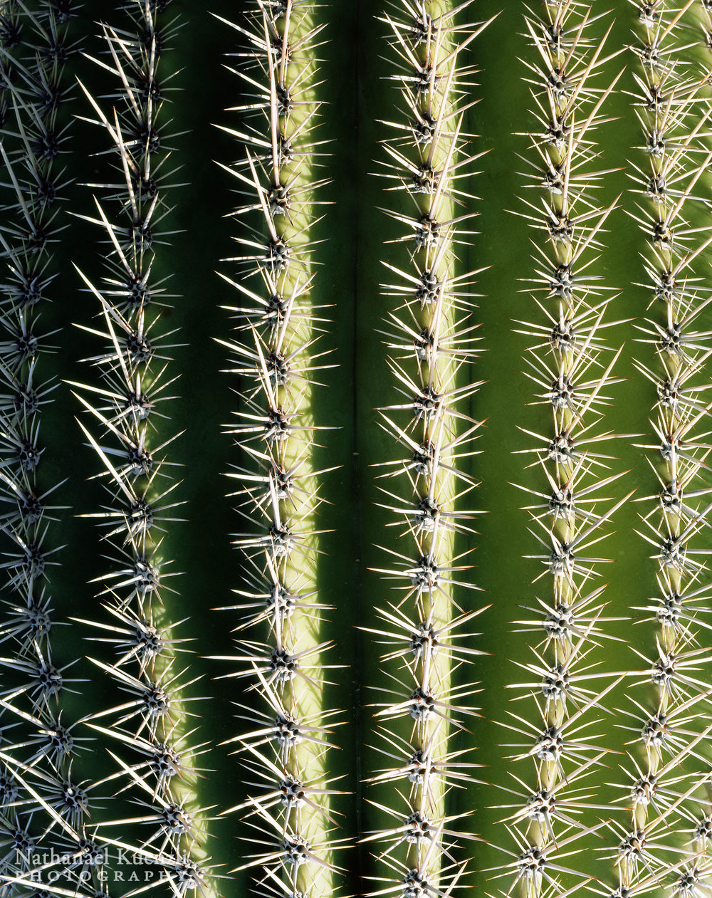 Saguaro Detail, Saguaro National Park, Arizona, March 2008