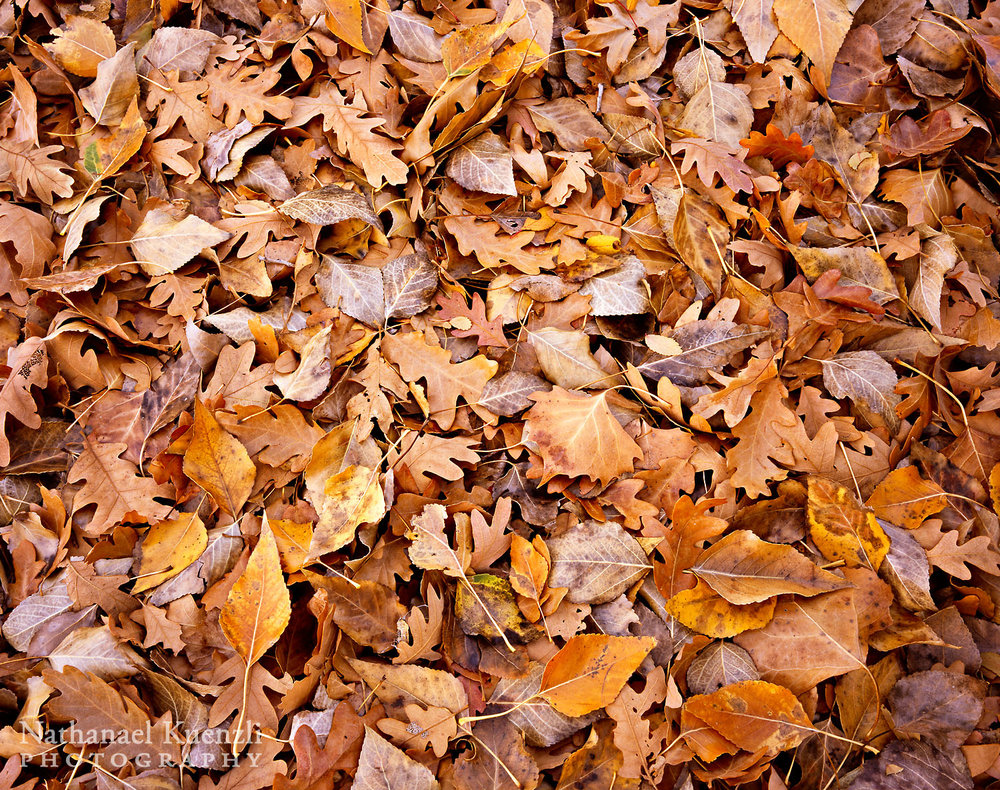 Leaf Detail, Indian Creek Corridor BLM, Utah, November 2010