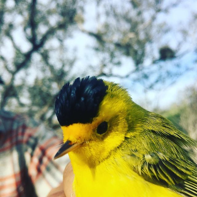 Wilson! We just finished the last day of mangrove banding for the season. Thanks to all our supporters. #birds #mangroves #conservation #ecologicalmonitoring #birdbanding #fieldstation #fieldstationlife #coastalecosystem #climatechange #educational