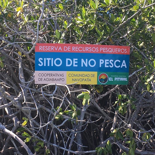 Our partners at NCI Mexico, have done great work with local communities and fishermen. Leading to mangroves in a small area of the bay being off-limits to fishing. With local support and vigilance a great step to help the Agiabampo estuary.  #conservation #marinereserves #fishing #pitayacoast #mangroves #longtermmonitoring #agiabampo #sonora