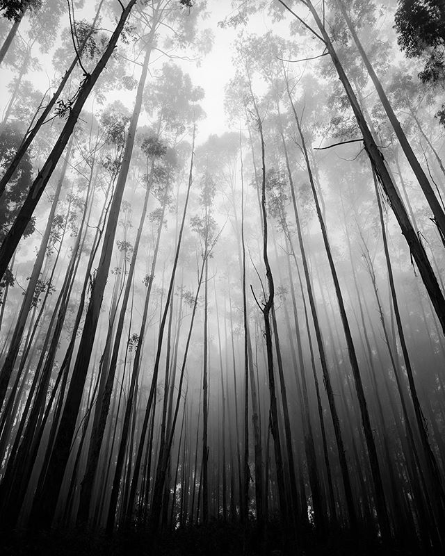 Misty Eucalyptus Forest - Sri Lanka
