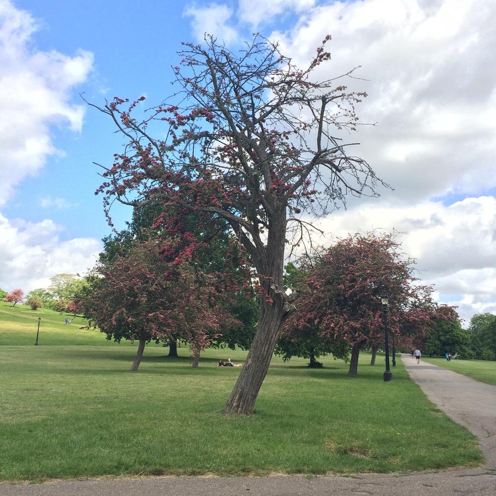Primrose Hill Tree