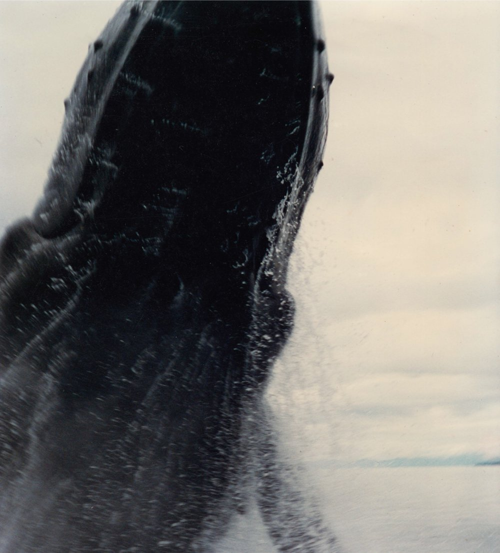 """The whale doing a """"pirouette"""" over Berry's charter boat."""