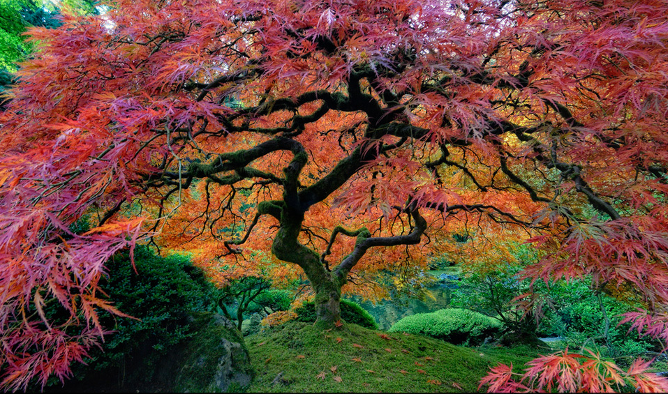 The Portland Japanese Garden is a traditional Japanese garden occupying 5.5 acres, located within Washington Park in the west hills of Portland, Oregon, USA. Photo by: unknown