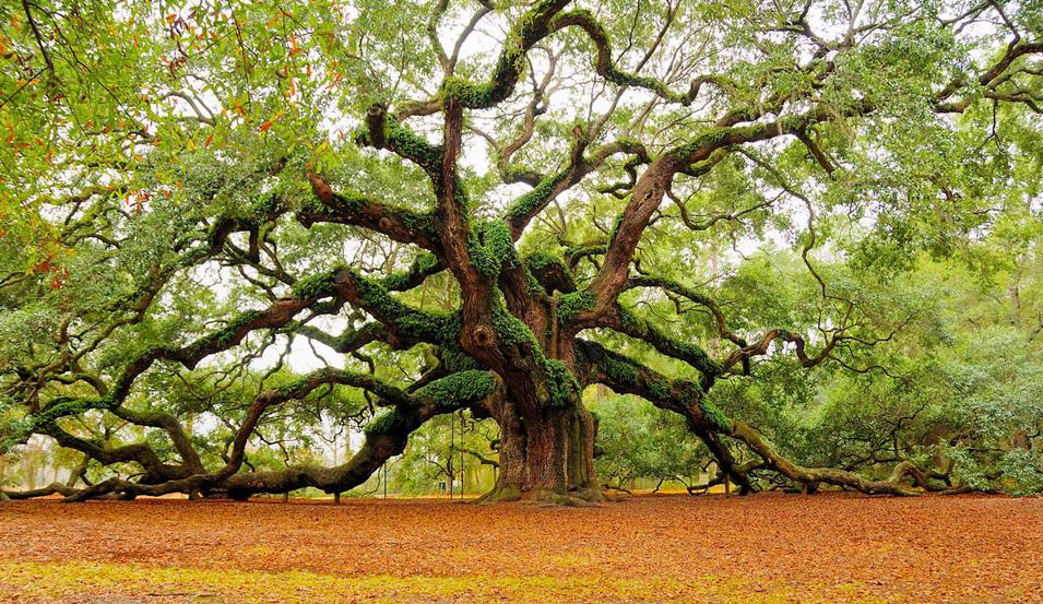 Amazing angel oak tree, Charleston. Photo by:Mark Requidan