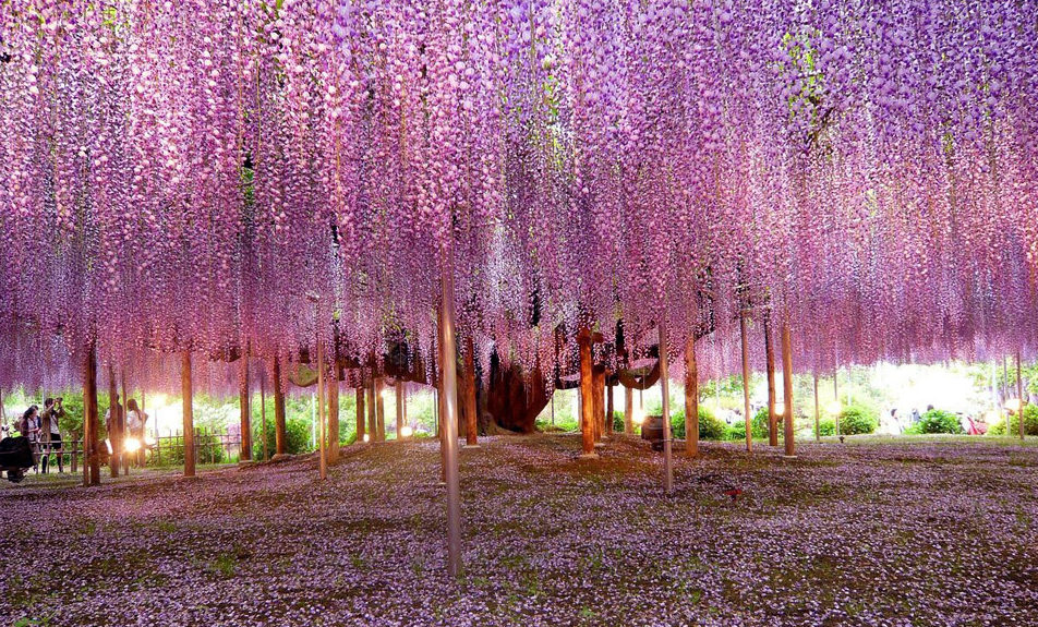 Beautiful wisteria tree. Photo by: Brian Young