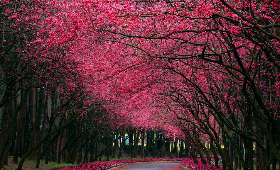 Cherry blossom road. Photo by unknown.