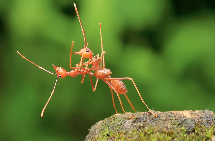 Two weaver ants, otherwise known as fire ants, dancing together in Bata, Indonesia. Photo credit: Usman Priyona for Comedy Wildlife Photography Awards
