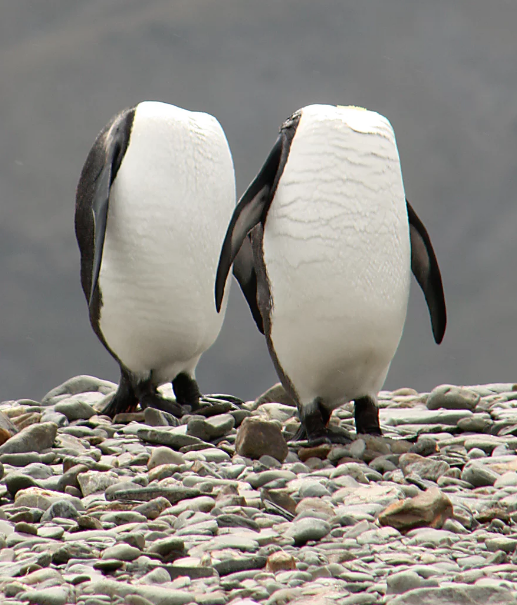 A pair of 'headless penguins' as they stretch to preen themselves simultaneously in South Georgia. Photo credt: Charles Kinsey for Comedy Wildlife Photography Awards