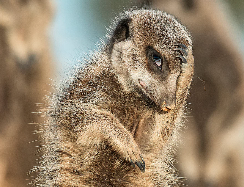 A meerkat appears to look as if it has just remembered it needs to be somewhere, in Brigitta Moser's photo from Little Karoo, South Africa. Photo credit: Brigitta Moser for Comedy Wildlife Photography Awards