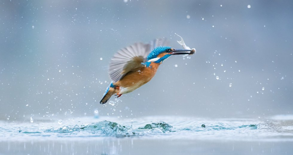 Kingfisher (Alcedo atthis). Photo credit: Gabor Li/World Wildlife Day