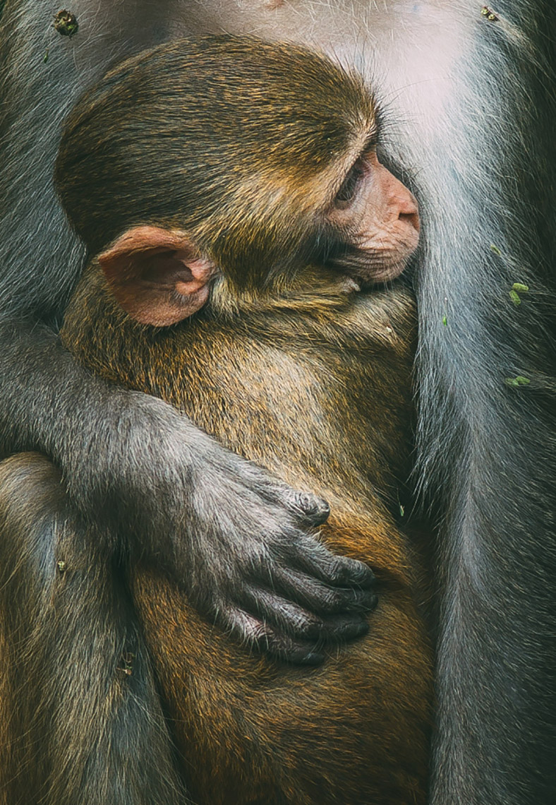 Rhesus Macaques (Macaca mulatta). Photo credit: Swaroop Singha Roy/World Wildlife Day