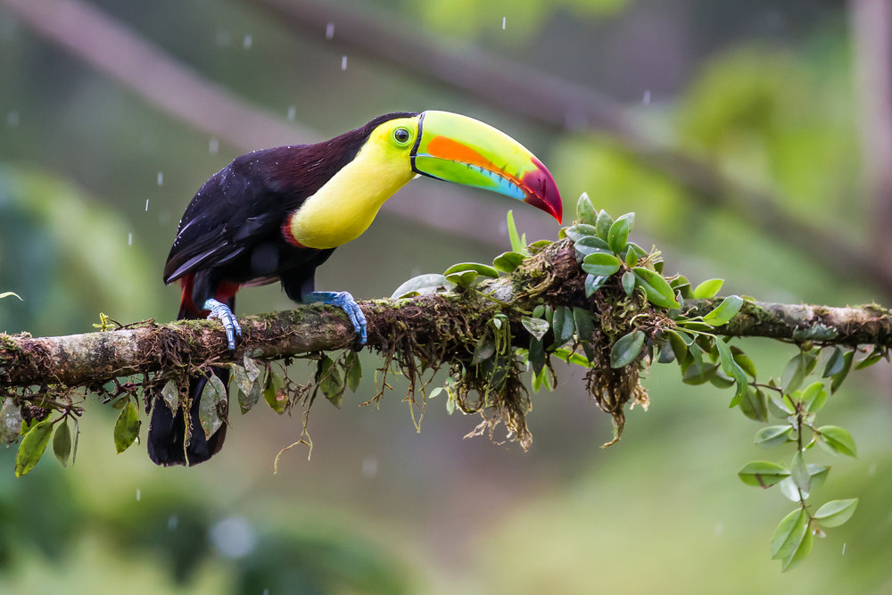 """Keel-Billed Toucan""  Photo credit: © Dennis Zaebst. All rights reserved."