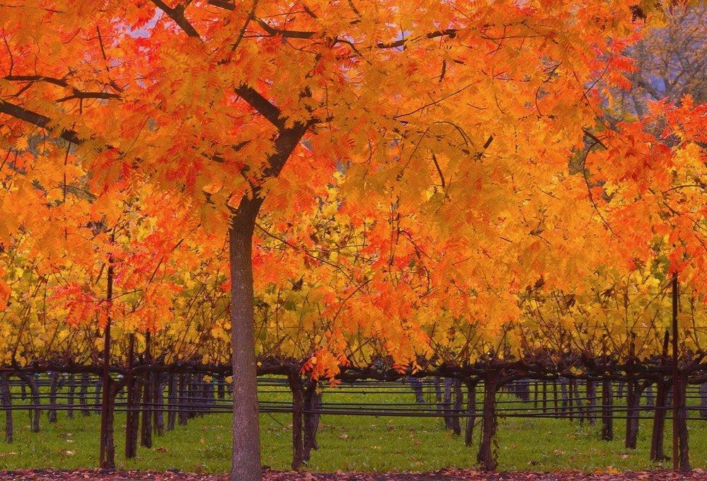Fall at a Vineyard. Photo credit:  Sally Auman