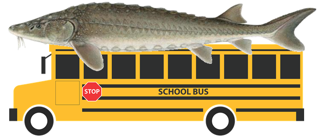 Sturgeons as big as school buses once swam through the oceans, seas, and rivers