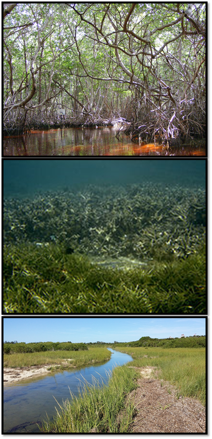 Mangroves, seagrasses and tidal marshes (top to bottom) are promising solutions to mitigating climate change.