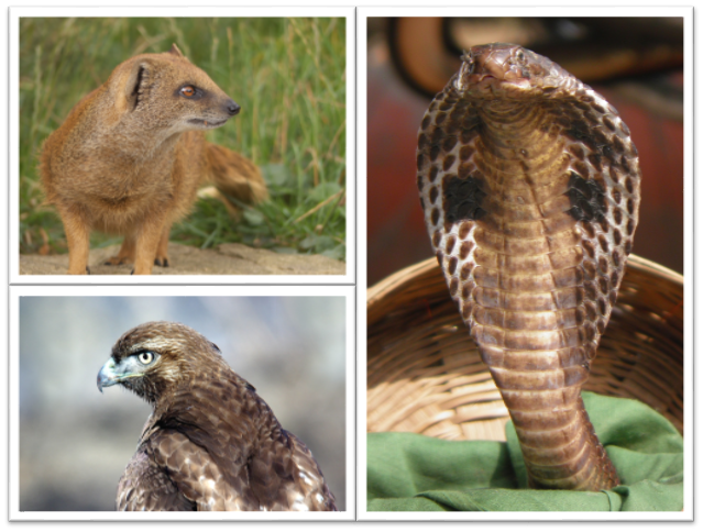 "How about a game of ""Mongoose, Hawk, Cobra""?"