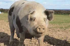 A free range pig ..... well she certainly looks happy!