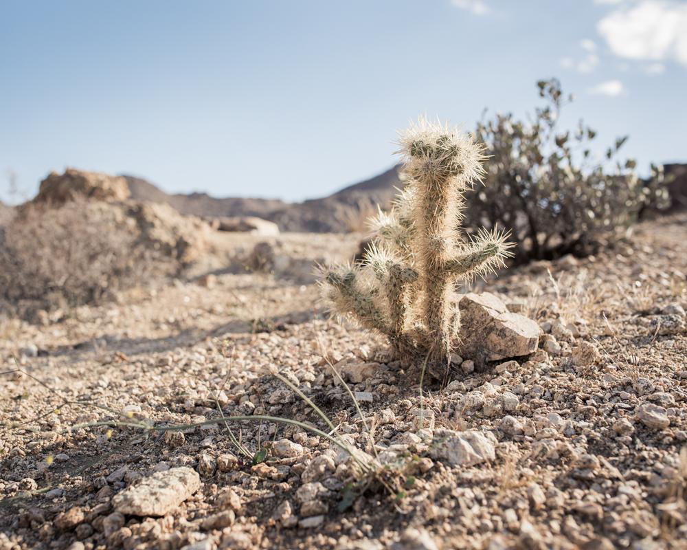 Lone Cactus.jpg