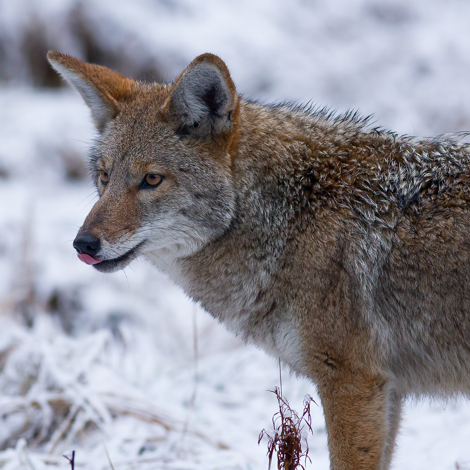 Coyote In Yosemite National Park