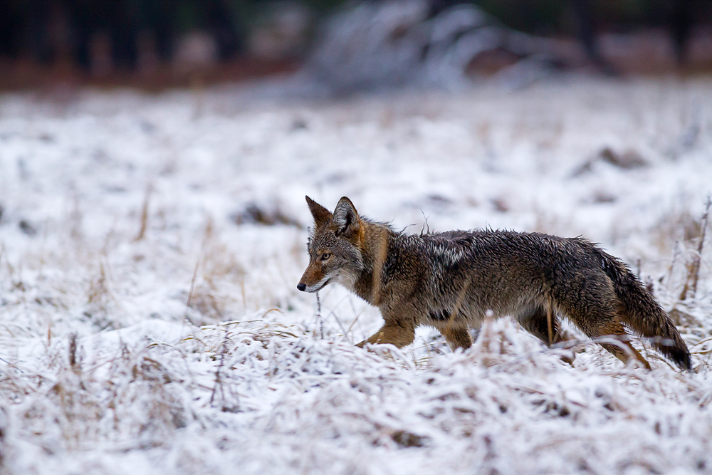 Coyote At Cook Meadow