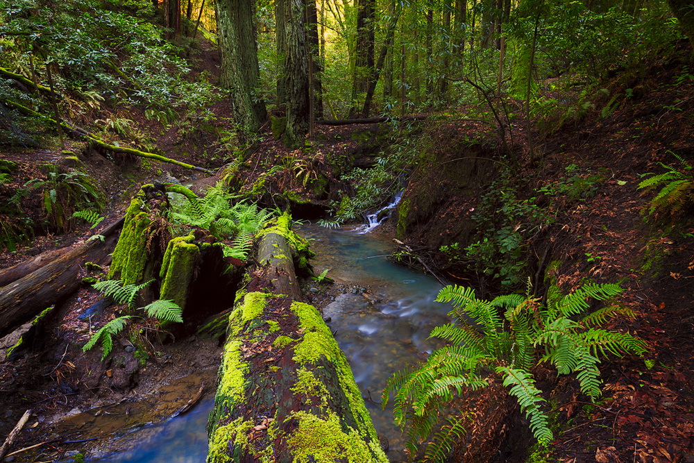 A thriving mixed forest of moss-covered madrone, redwoods, ferns, creeks, cascading waterfall.