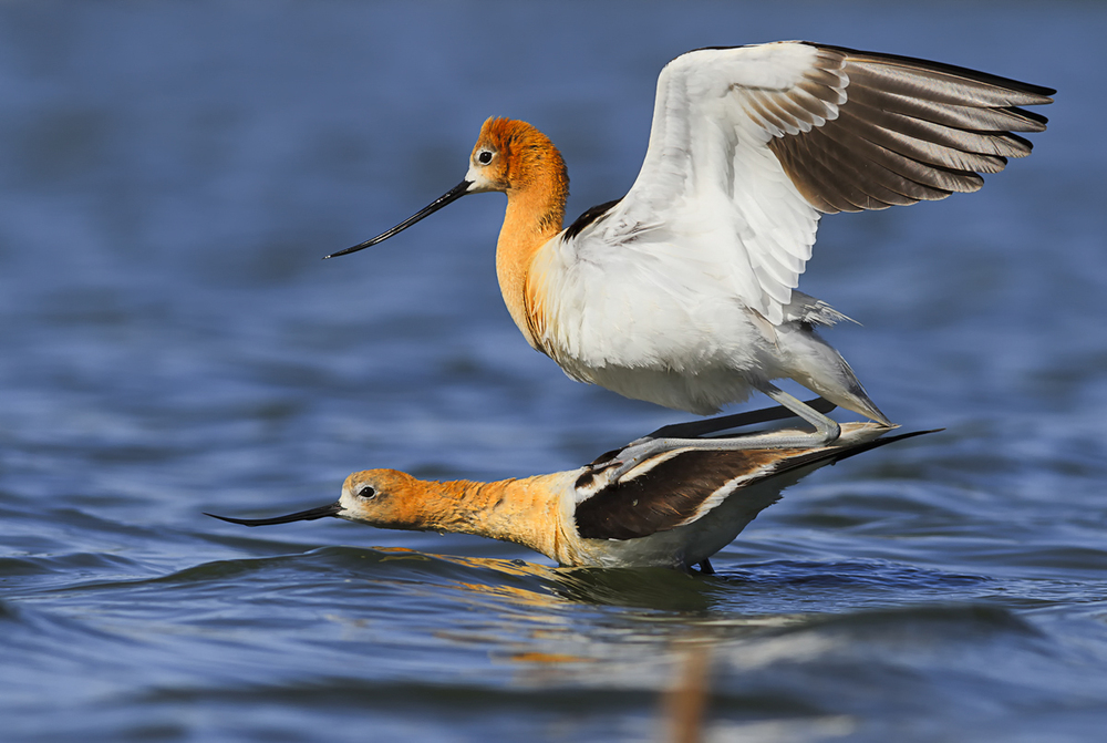 Avocet Mating