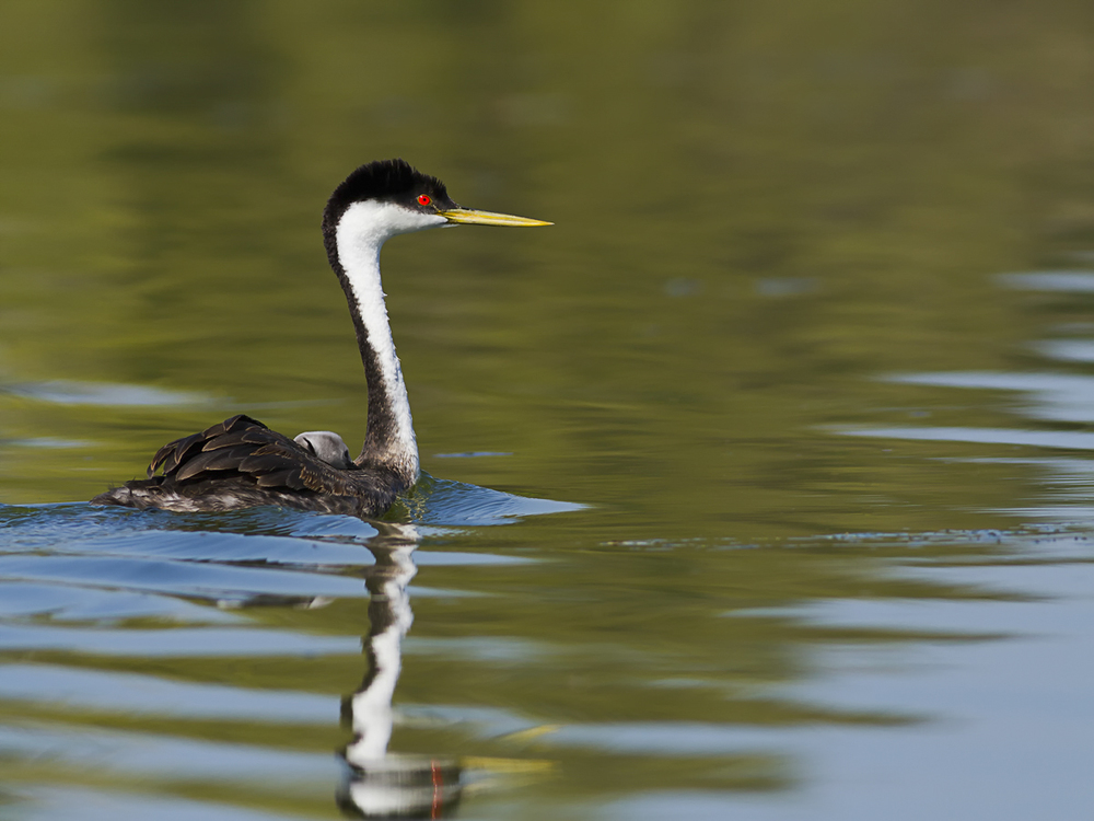 Western Grebe With Baby