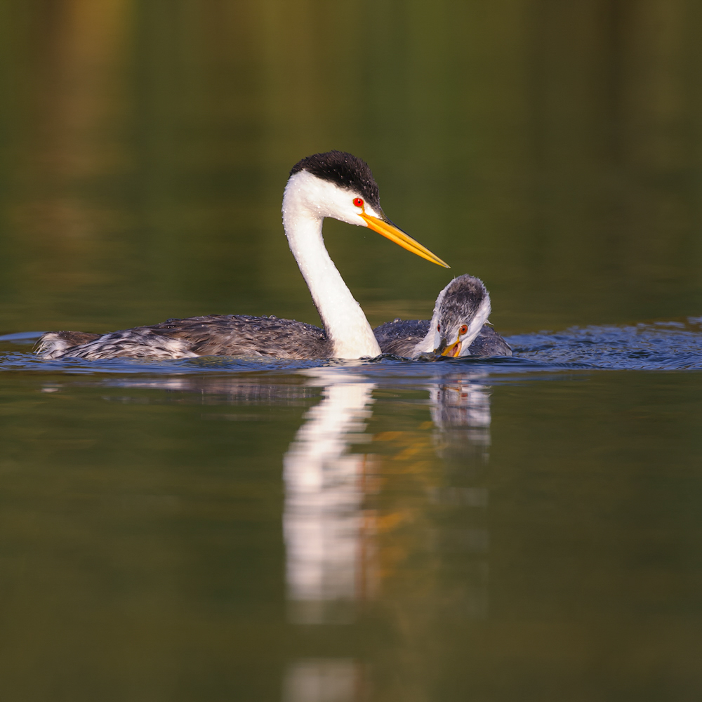Clark's Grebe And Young