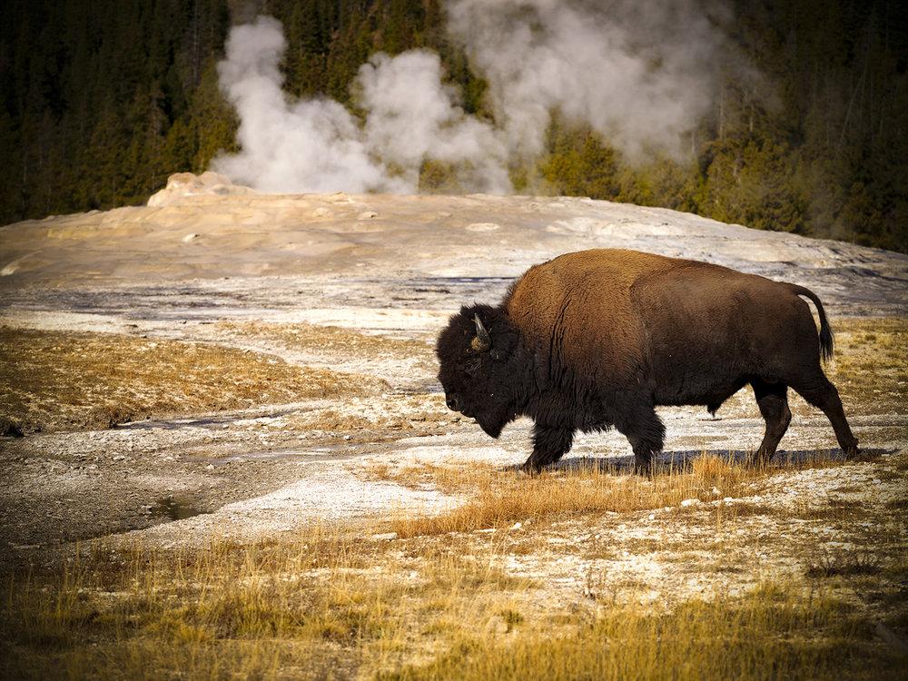 Faithful Bison