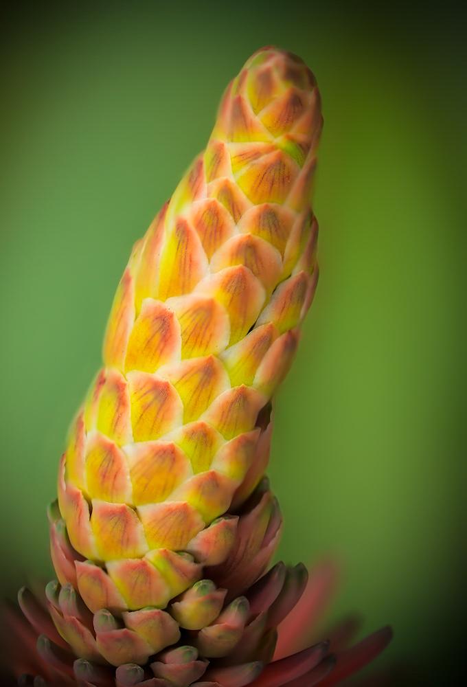 Aloe Tip