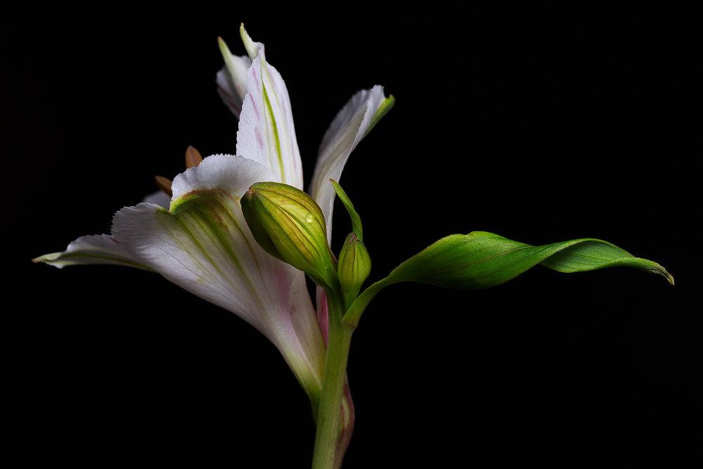 Peruvian Lily 4