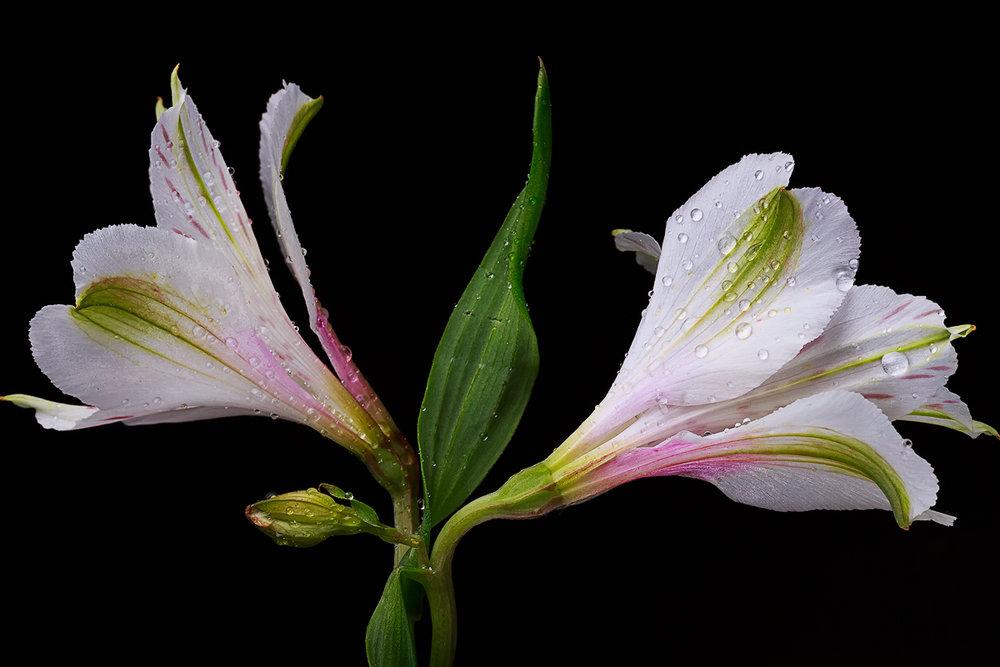 Peruvian Lily 3