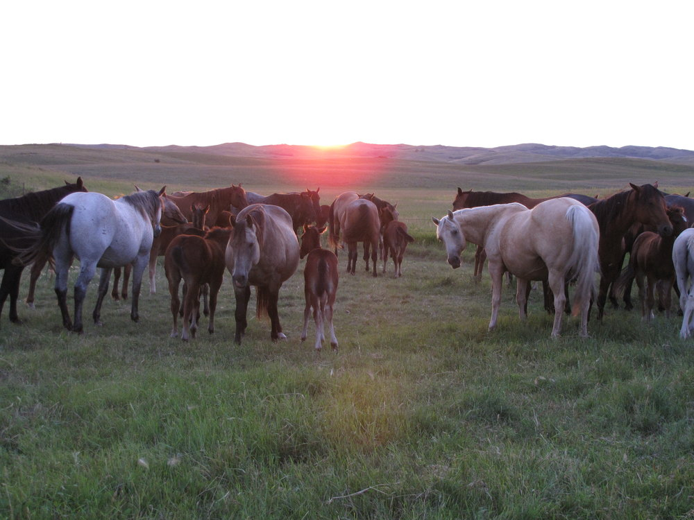 CONTACT Hetletved Quarter Horses - Gene and Jan Hetletved   (701) 392-8351