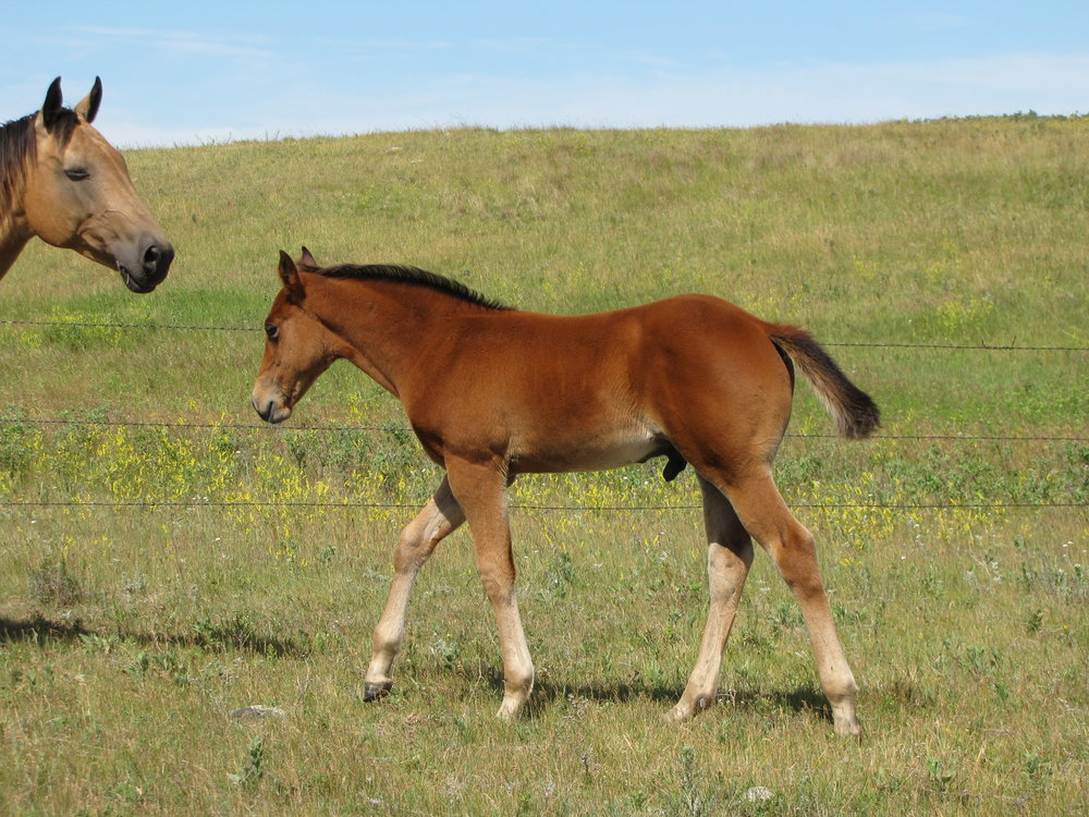 Lot 9  stud colt         Lonsum Drifts Lady.       Awesome Roany.JPG