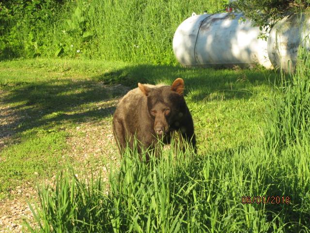 Cinnamon-bear2.jpg