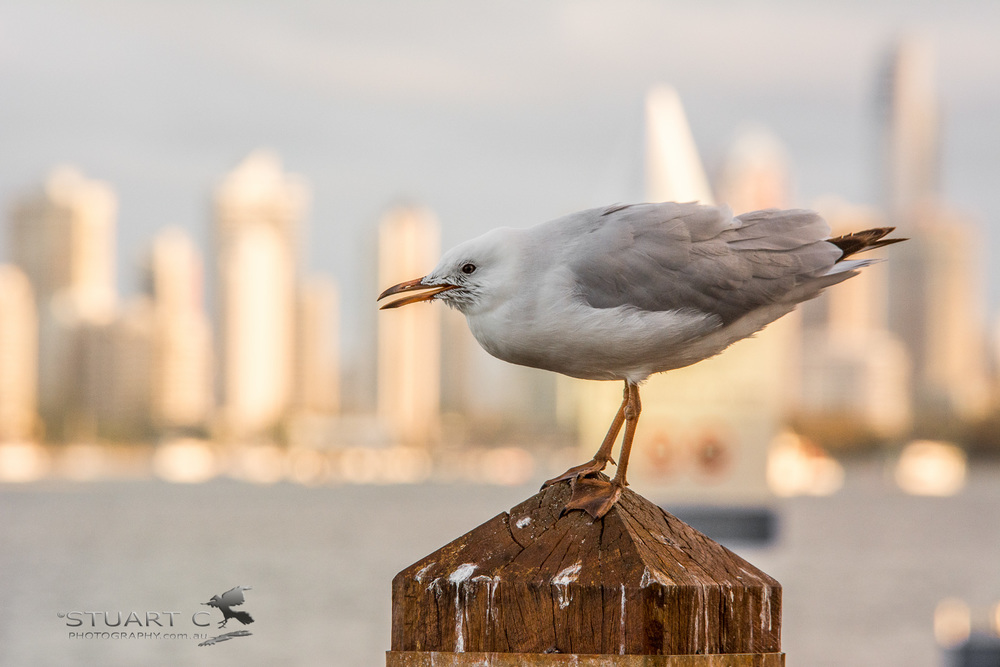 Spent some of the afternoon photographing the gulls. I liked this shot with a view of Surfers in the back ground.    Nikon D7100 | Sigma 70-200 F2.8 + 1.4xTC @ 280mm | 1/320sec | F9 | ISO1000
