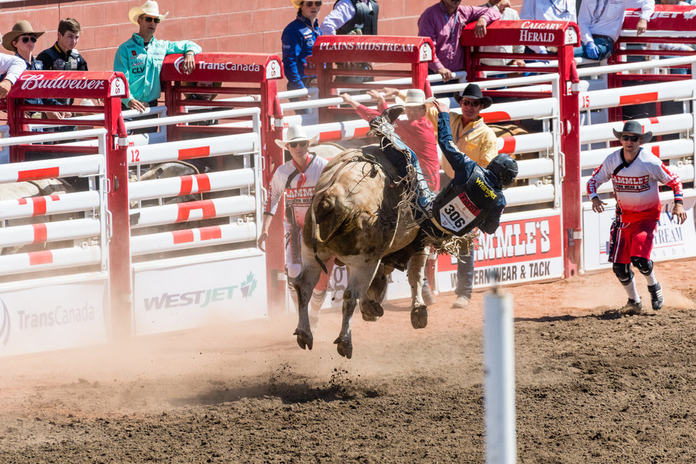 Unlike the horse rodeo where a lot of the cowboys were able to stay on for the whole duration of the rodeo.  This event was much shorter with everyone getting knocked off within a few seconds.